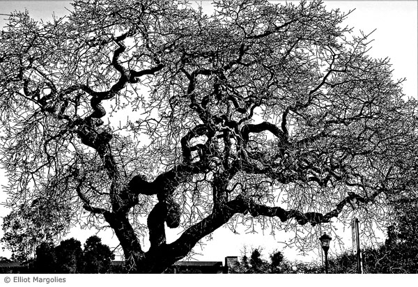 oak-tree-bw